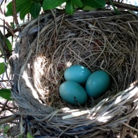 Mrs. Robin's Beautiful Blue Eggs