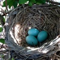 Mrs. Robin's Beautiful Blue Eggs