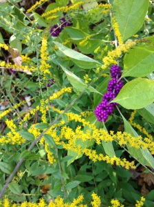 golden rod and beautyberry
