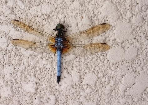 blue-dragonfly.jpg