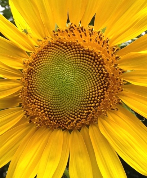 mesmerizingsunflower.jpg