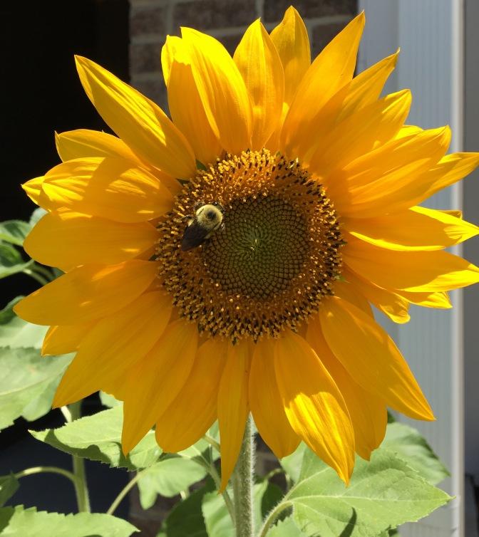 Sunflower, Part IV.
