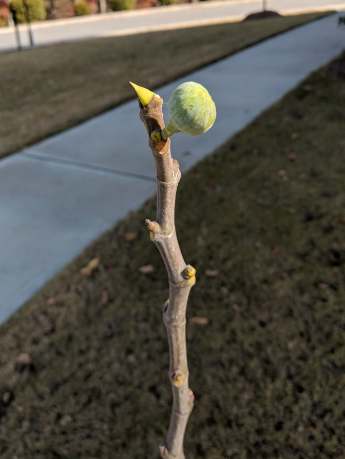 Last fig standing